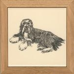 Bearded Collie (TW)